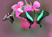Angelic Photo Prints - Emerald Swallowtail Butterflies Print by Sabrina L Ryan