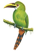 Flying Painting Framed Prints - Emerald toucanet Framed Print by Anonymous