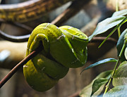 Brunch Prints - Emerald tree boa Print by Eti Reid