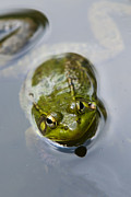 Green Frog Prints - Emerging Green Print by Christina Rollo