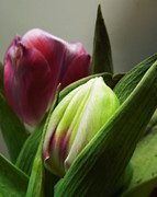 Big Tulip Prints - Emerging Print by Renee Trenholm