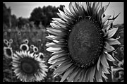 Sonnenblume Prints - Emotion Print by Sonja Freisinger