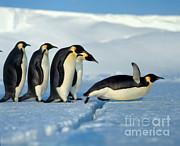 Hans Reinhard - Emperor Penguin Aptenodytes Forsteri