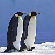 Emperor Penguin Couple Print by Jean-Louis Klein and Marie-Luce Hubert