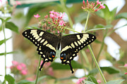 Judy Whitton - Emperor Swallowtail...