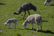 Sheep Posters - Emu and sheep Poster by Garry Gay