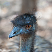 Emu Originals - Emu in Profile by Patrick OConnell