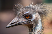 Bryan Wenham-Baker - Emu portrait bird bad...