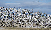 Snow Geese Framed Prints - En Masse Framed Print by Loree Johnson