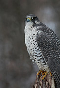 Gyr Falcon Posters - Enchanted by the Rare Gyrfalcon Poster by Inspired Nature Photography By Shelley Myke