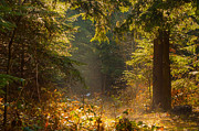 Sunbeams Metal Prints - Enchanted Forest Metal Print by Evgeni Dinev