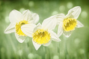 Daffodils Photographs Framed Prints - Enchanted Spring Daffodils Framed Print by Natalie Kinnear