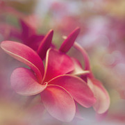Flowers Of Hawaii Photos - Enchanting Moments by Sharon Mau
