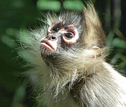 Margaret Saheed Prints - Enchanting Young Spider Monkey Print by Margaret Saheed