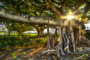 Tree Roots Photos - Enchantment by Debra and Dave Vanderlaan