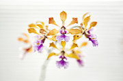 Shallow Depth Of Field Framed Prints - Encyclia orchid Framed Print by Tim Gainey