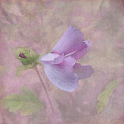 Rose Of Sharon Framed Prints - Ending Gracefully Framed Print by Angie Vogel