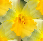 Judy Palkimas - Endless Yellow Daffodil