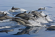 Cetaceans Posters - Energetic Group Of Common Dolphins Leaping Out Of Water All At Once Poster by Brandon Cole