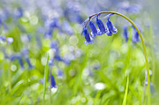 Jacky Parker - English Bluebell