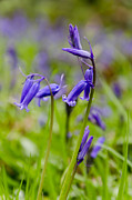 Steev Stamford Framed Prints - English Bluebells Framed Print by Steev Stamford