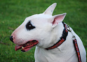English Bull Terrier Posters - English Bull Terrier Poster by Les Palenik