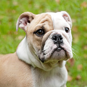 Cute Puppy Pictures Digital Art Posters - English Bulldog Puppy Poster by Natalie Kinnear