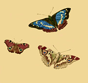 Butterfly Drawings - English Butterflies by Unknown