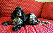 Catherine White Prints - English Cocker Spaniel on Red Sofa Print by Catherine Sherman