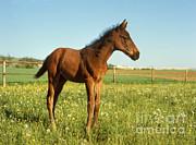 St Meyers Okapia - English Fullblood Foal