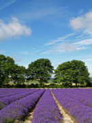 English Lavender Fields Near Selborne Hampshire Print by Alex Cassels