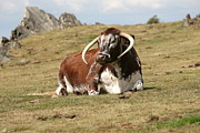 Mark Severn Art - English Longhorn by Mark Severn