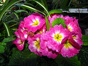 Joyce Dickens - English Primrose Pink...