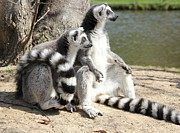 Lemur Photos - Enjoying the first sun by Jackie Mestrom