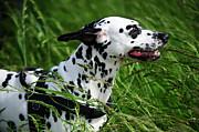 Jenny Rainbow - Enjoying the Wind. Kokkie. Dalmatian Dog