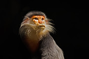 Primates Prints - Enlightenment Print by Ashley Vincent
