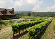 Grapevines Prints - Enochs Vineyard Print by Paul Anderson
