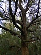 Entangled Photos - Entangled Oak by Warren Thompson