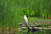 White Egret Posters - Enticing Egret Poster by Al Powell Photography USA