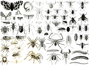 Insect Drawings Prints - Entomology Myriapoda and Arachnida  Print by English School