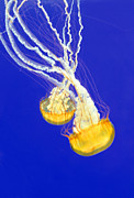 Jellyfish Framed Prints - Entwined  Framed Print by Lara Ellis