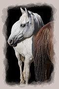 Wild Horses Digital Art Posters - EQUINE HORSE HEAD and TAIL Poster by Daniel Hagerman