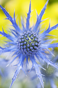 Bracts Framed Prints - Eryngium x Oliverianum Flower Framed Print by Tim Gainey