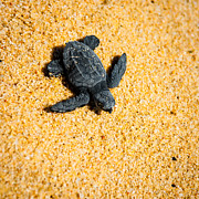 Sea Turtle Photos - Escape by Sebastian Musial