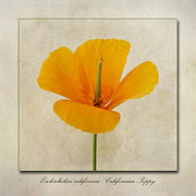 John Edwards - Eschscholzia californica...