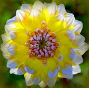 Dinner-plate Dahlia Prints - ESSENCE of SPRING Print by Karen Wiles