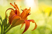 Daylily Photos - Ethereal by Reflective Moments  Photography and Digital Art Images