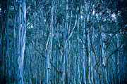 Tree Art Photos - Eucalyptus Forest by Frank Tschakert