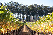Sonoma County Vineyards. Prints - Eucalyptus Trees and Vineyards Print by Kathy Sidjakov