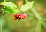 Bursting Photos - Euonymus americanus  American Strawberry Bush by Rebecca Sherman